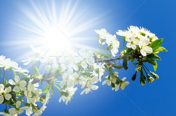 Bloei kers hemel voorjaar zon licht Stockfoto © Serg64
