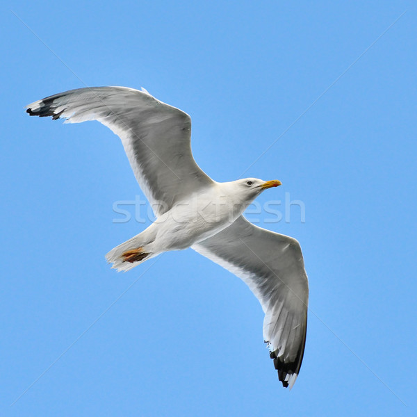 seagull in the sky Stock photo © Serg64