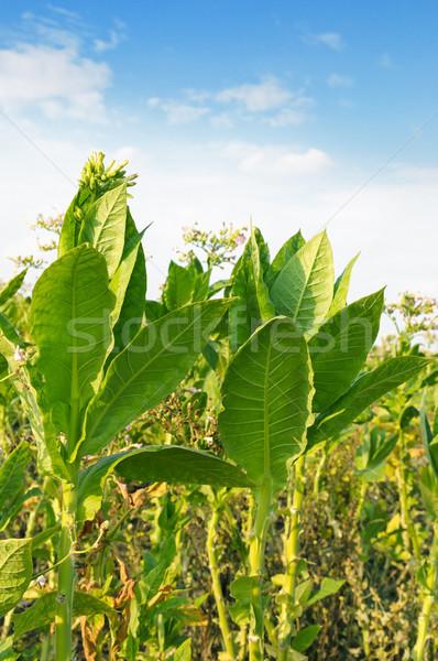 Bloei tabak veld bloemen rook boerderij Stockfoto © serg64