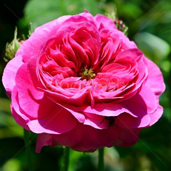 Piros rózsa virágágy rózsa levél háttér szépség Stock fotó © Serg64
