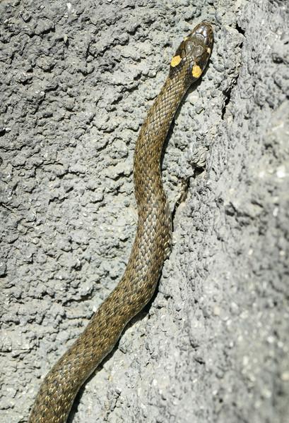 grass snake in stone        Stock photo © Serg64
