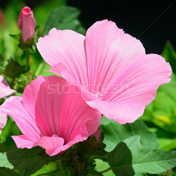 Belo flor-de-rosa flor natureza folha Foto stock © serg64