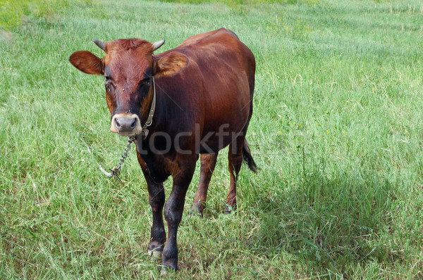 cow in a pasture on a chain Stock photo © Serg64