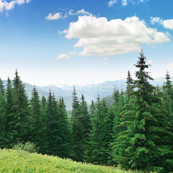 Beautiful pine trees Stock photo © serg64