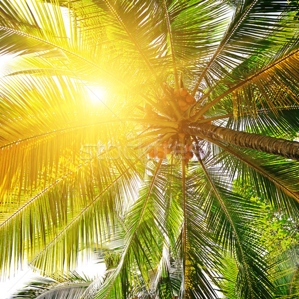 sunlight through the leaves of palm trees   Stock photo © serg64