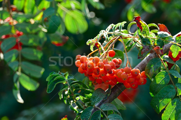 Stock photo: Fruits of mountain ash on a bright sunny day