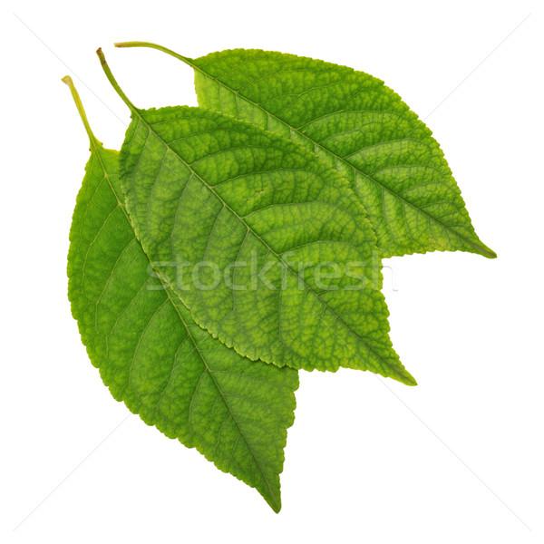 leaves Stock photo © Serg64