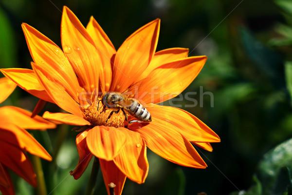 Abelha néctar flor planta primavera grama Foto stock © serg64