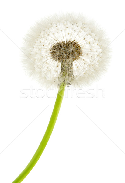 dandelion  macro close-up Stock photo © Serg64