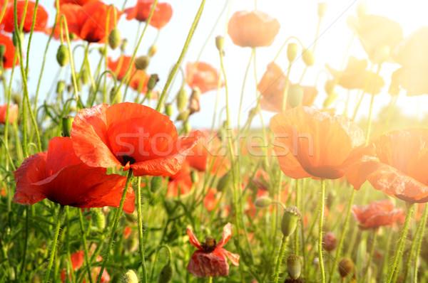 Stockfoto: Klaprozen · Rood · stralen · zon · bloem · voorjaar