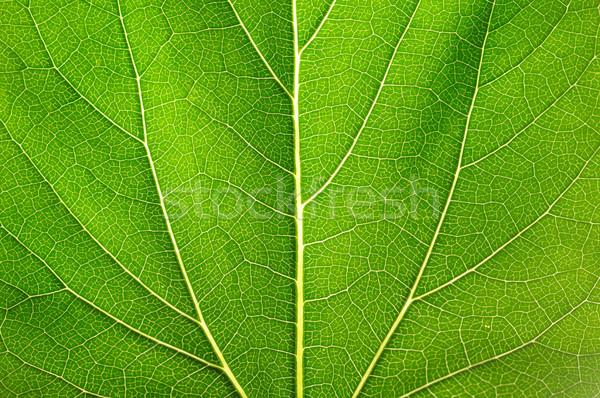 Leaf of a plant Stock photo © Serg64