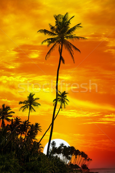 Palm trees silhouetted on sunset background Stock photo © serg64