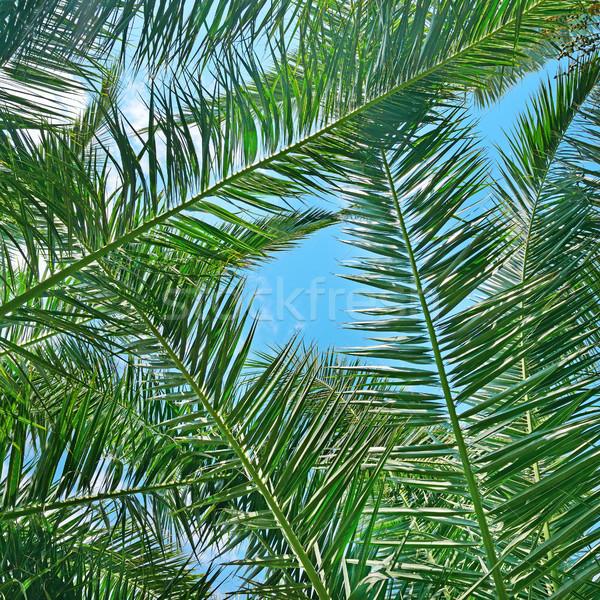 Hindistan cevizi ağaç gökyüzü orman arka plan Stok fotoğraf © serg64