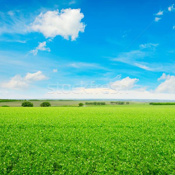 Erwten veld blauwe hemel zon landschap zomer Stockfoto © serg64