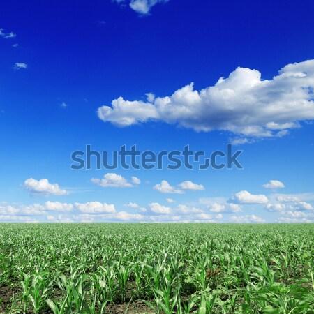 Kukorica mező égbolt nap természet nyár Stock fotó © Serg64