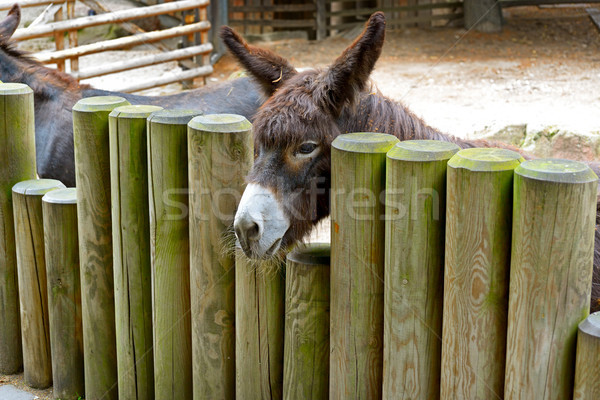 Donkey behind a wooden fence Stock photo © serg64