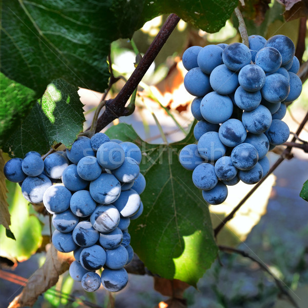 Bunches of grapes on the vine Stock photo © serg64