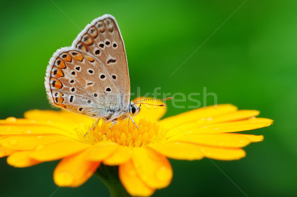 butterfly on yellow flower Stock photo © Serg64