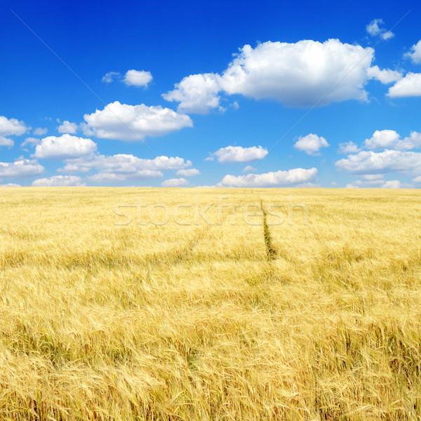 Wheat field. Stock photo © Serg64