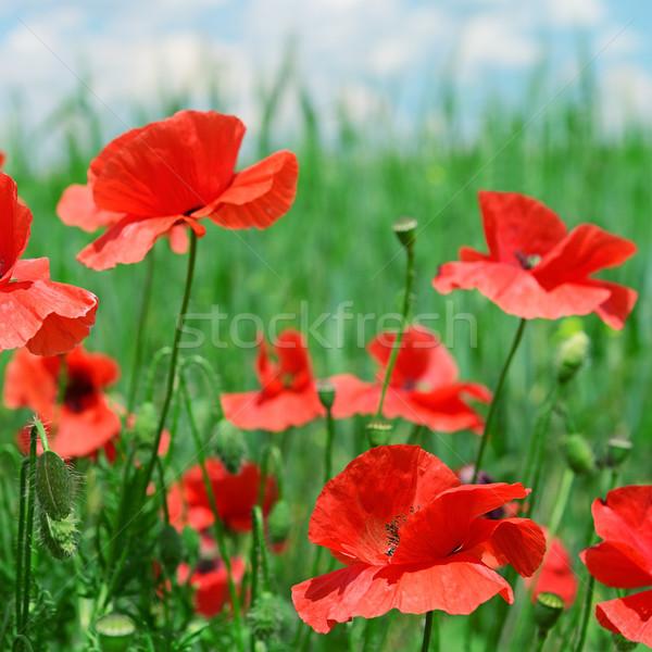 Rood klaprozen groene veld hemel bloem Stockfoto © serg64
