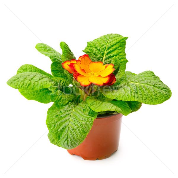 Amarelo prímula vaso isolado branco flor Foto stock © serg64