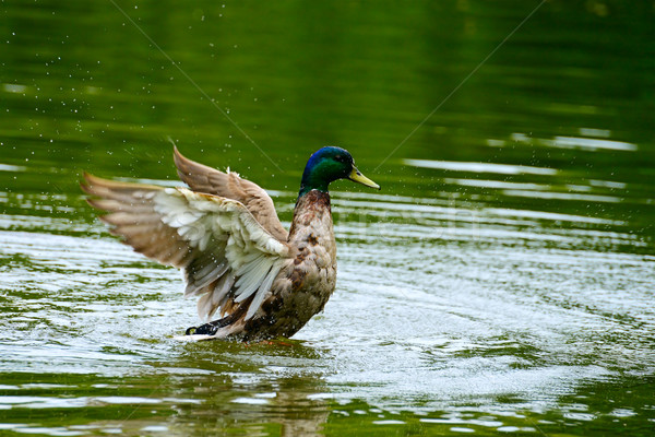 Wild duck swims in lake Stock photo © Serg64