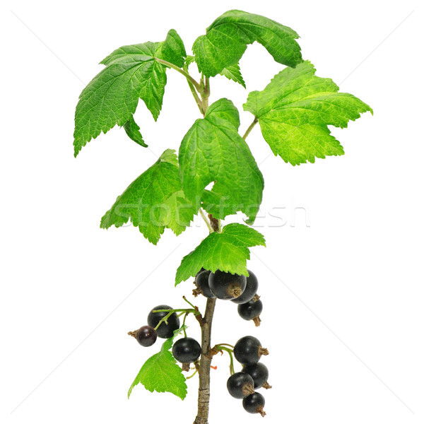черный смородина изолированный белый фрукты зеленый Сток-фото © serg64