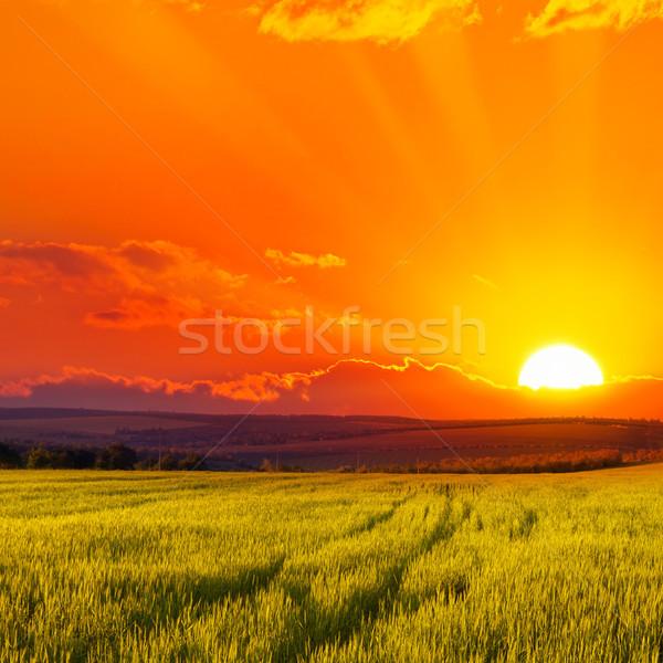 Gyönyörű naplemente búzamező fényes piros égbolt Stock fotó © serg64