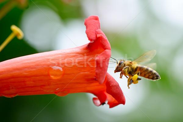 Mel de abelha flor néctar verão cama vermelho Foto stock © serg64