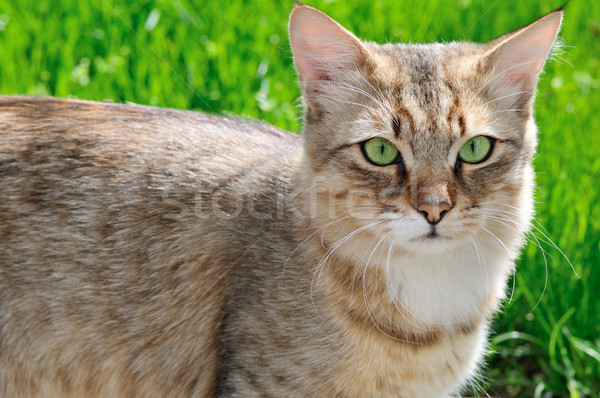 Kedi yeşil ot yüz doğa yaz yeşil Stok fotoğraf © serg64