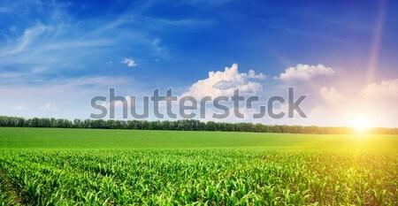 Gyönyörű napfelkelte zöld kukoricamező kék ég égbolt Stock fotó © serg64