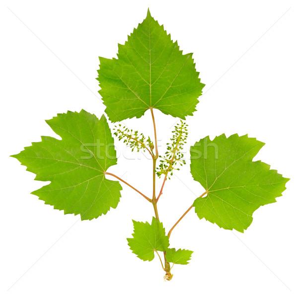 Vid hojas aislado blanco vino naturaleza Foto stock © Serg64