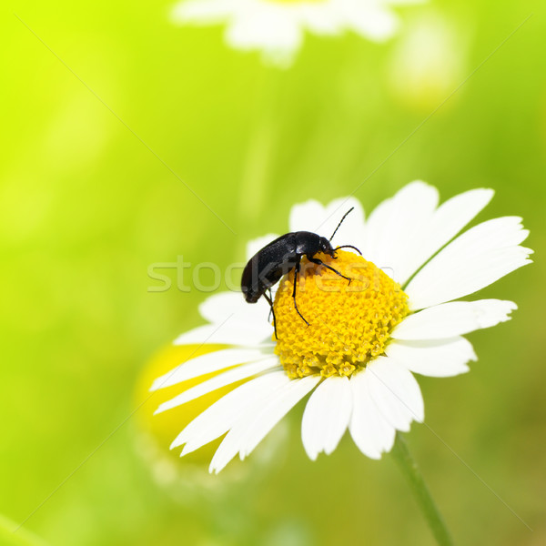 Insect crawling on camomile Stock photo © Serg64
