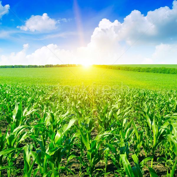 美しい 日の出 緑 トウモロコシ畑 空 雲 ストックフォト © serg64