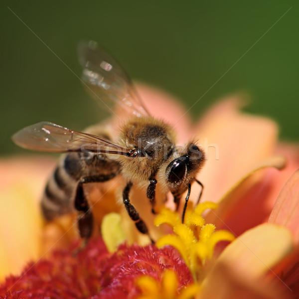 Mel de abelha flor néctar primavera verão espaço Foto stock © Serg64
