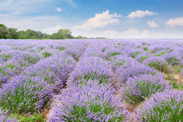 Picturesque lavender field with ripe flowers Stock photo © serg64