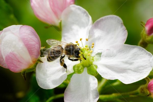 Háziméh virág nektár virágok háttér nyár Stock fotó © Serg64