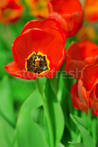 red poppies on green field       Stock photo © Serg64