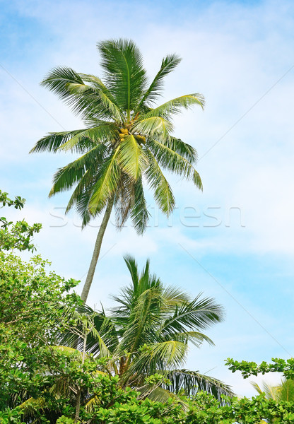 high palm on background of blue sky Stock photo © serg64
