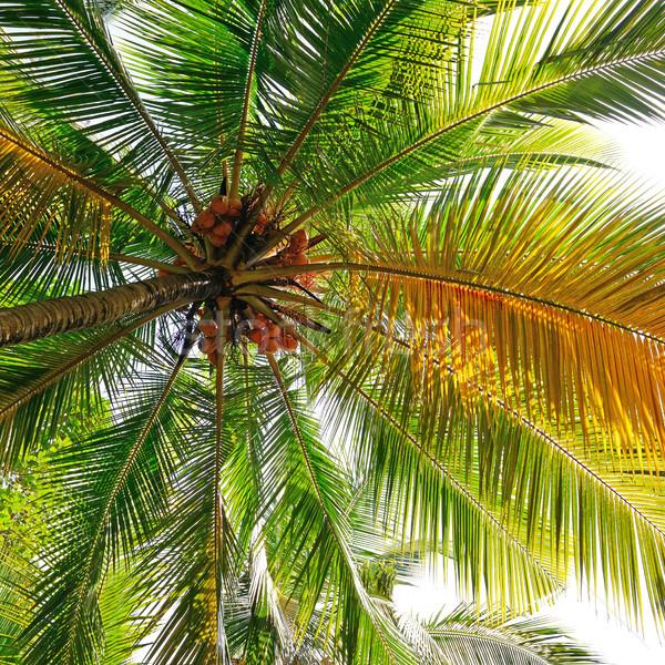coconut tree background Stock photo © serg64