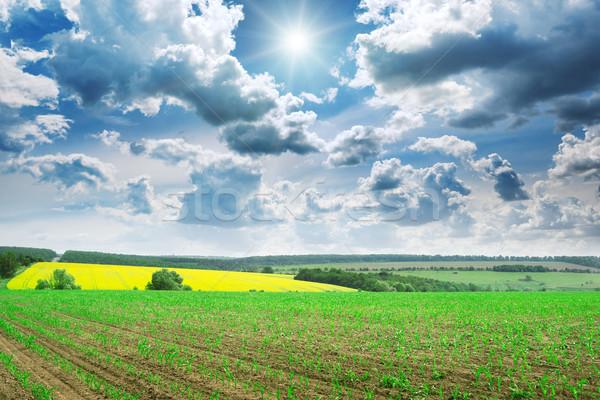 Gyönyörű napfelkelte zöld kukoricamező égbolt fű Stock fotó © Serg64