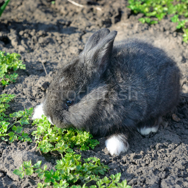 little rabbit eats the grass Stock photo © serg64