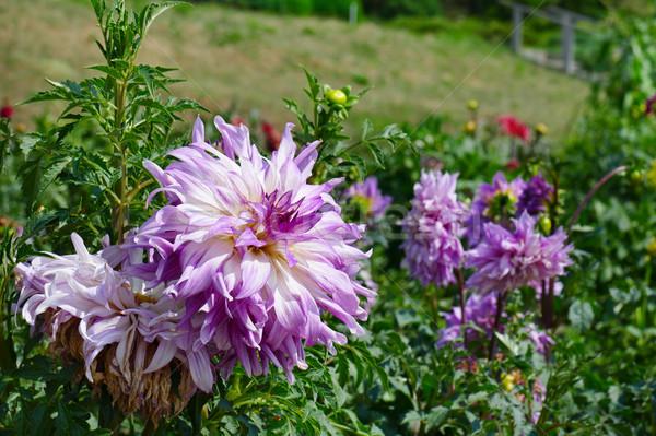 Light violet dahlia on flowerbed at summer park. Stock photo © serg64