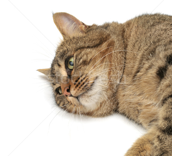 Hazugság macska izolált fehér természet háttér Stock fotó © Serg64