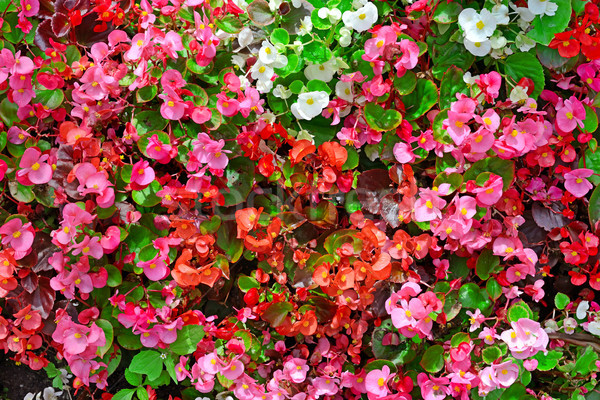 Blossoming flowerbed in the park. Stock photo © serg64