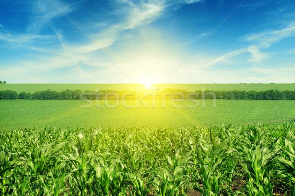 Beautiful sunset on corn field Stock photo © serg64