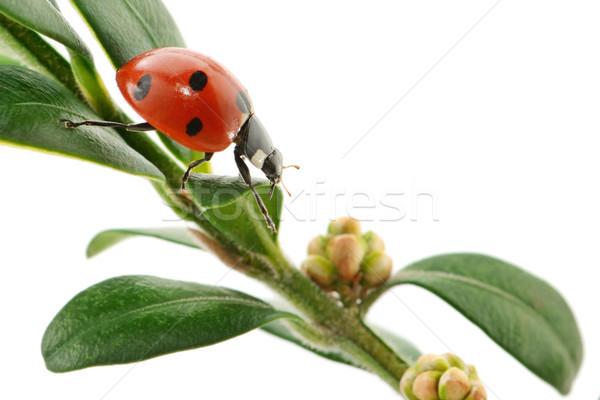 Katicabogár zöld levél izolált fehér tavasz fű Stock fotó © serg64