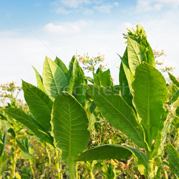 flowering tobacco on the field Stock photo © serg64