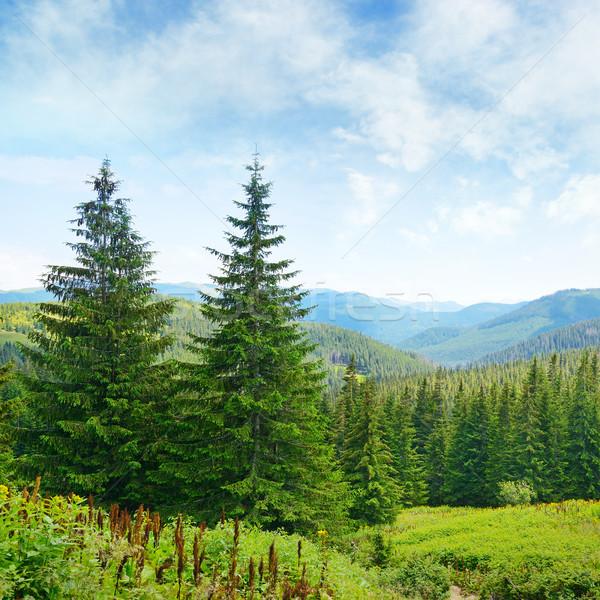 Beautiful pine trees on background high mountains. Stock photo © serg64