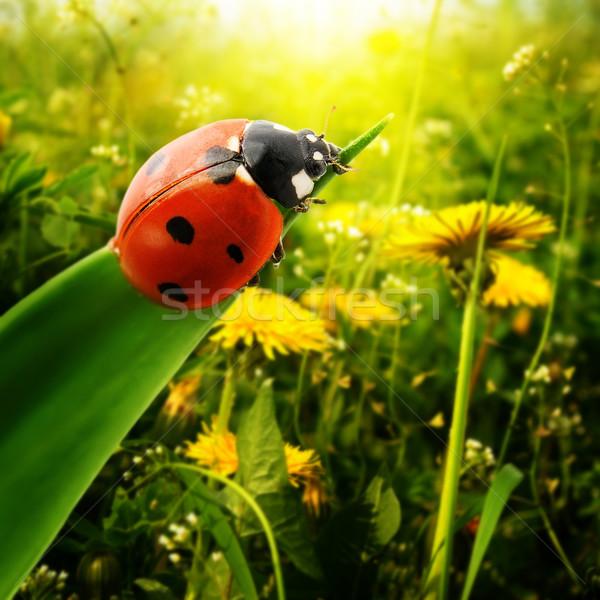 Ladybug солнечный свет области трава солнце свет Сток-фото © Serg64